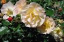 """Rose """"Calizia"""""""