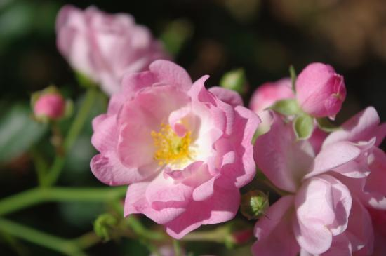 "Rose ""Féérie"""