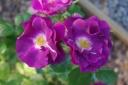 """Rose """"Rhapsody in Blue"""""""