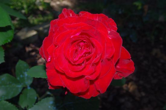 "Rose ""Rouge Delbard"""