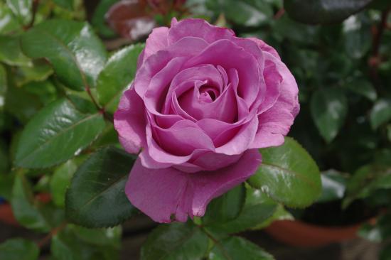 Rose ? 1