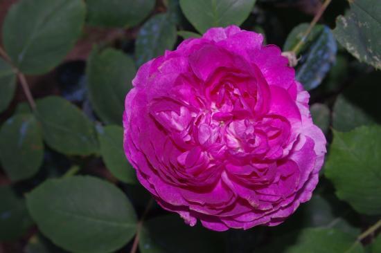 """Rose """"Reine des Violettes"""""""