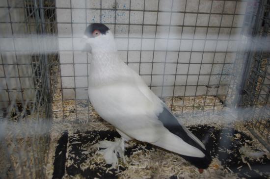 5505 - Pigeon français à calotte F - Noir - 95