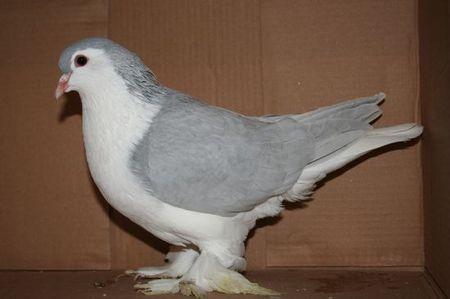 tes vous incollable sur les pigeons. Black Bedroom Furniture Sets. Home Design Ideas